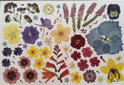 "Real Pressed Flowers for Designers - 6 1/2"" x  9 1/2"" sheet  fl-lg-1"