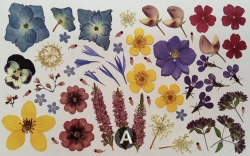 "Real Pressed Flowers for Designers - 5"" x 8"" sheet fl-sm-1"