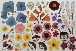 "Real Pressed Flowers for Designers - 5"" x 8"" sheet fl-sm-2"