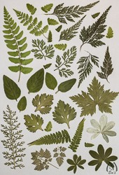"Real Pressed Foliage for Designers - 6 1/2"" x 9 1/2"" sheet fo-lg-2"