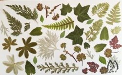 "Real Pressed Foliage for Designers - 5"" x 8"" sheet item fo-sm-1"